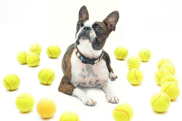 dog and tennis balls