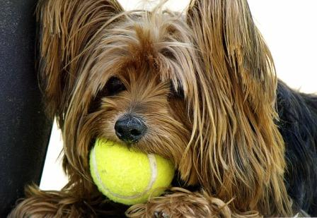 yorkshire terrier with a tennis ball in his mouth